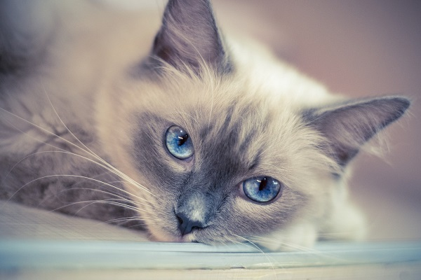 A light-gray Ragdoll with crystal blue eyes cat laying down and looking at the camera