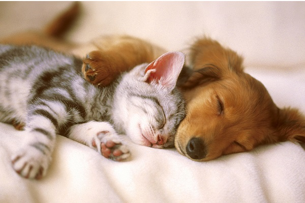 a brown puppy cuddling and sleeping with a gray tabby kitten