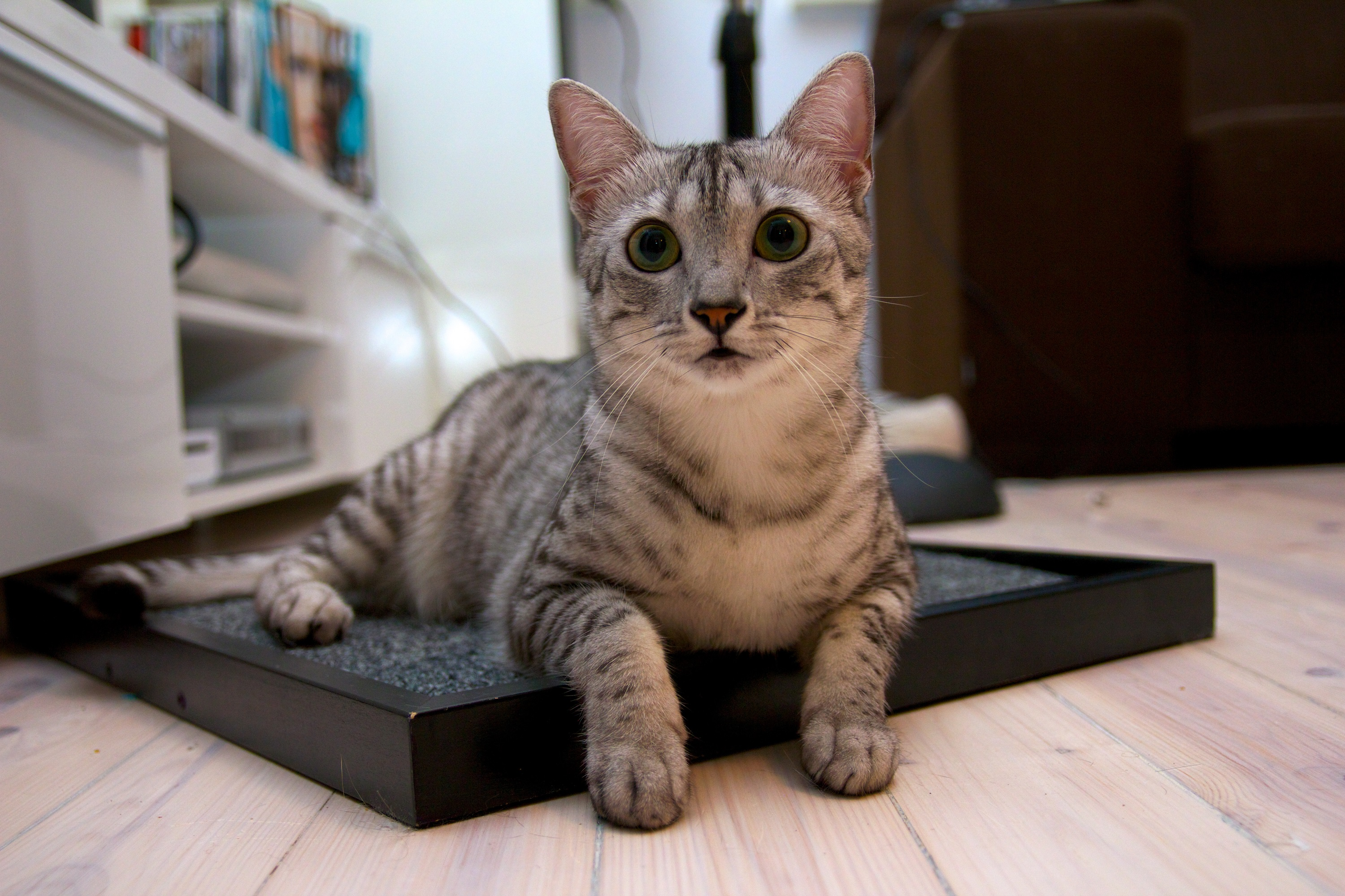 Meet the Elite Athlete of the Cat World – the Popular Egyptian Mau