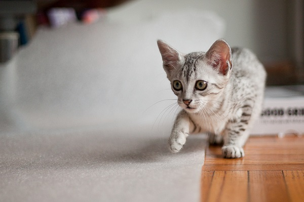 a gray young egyptian mau carefully walking