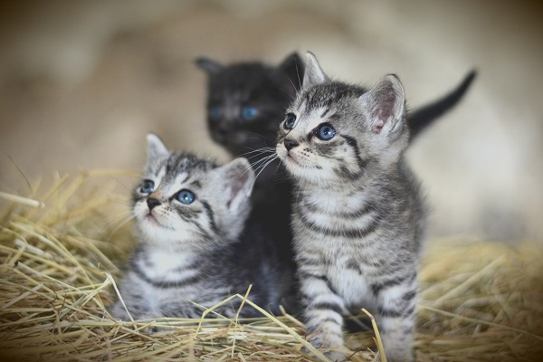young kittens in a litter