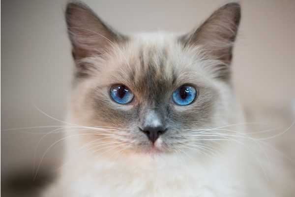 Cute Ragdoll color-pointed cat with baby blue eyes
