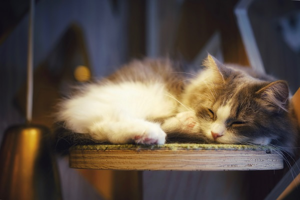 cute gray and white fluffy cat sleeping on a wooden chair