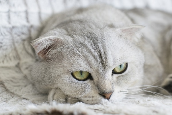 gray tabby cat with green eyes on a soft blanket