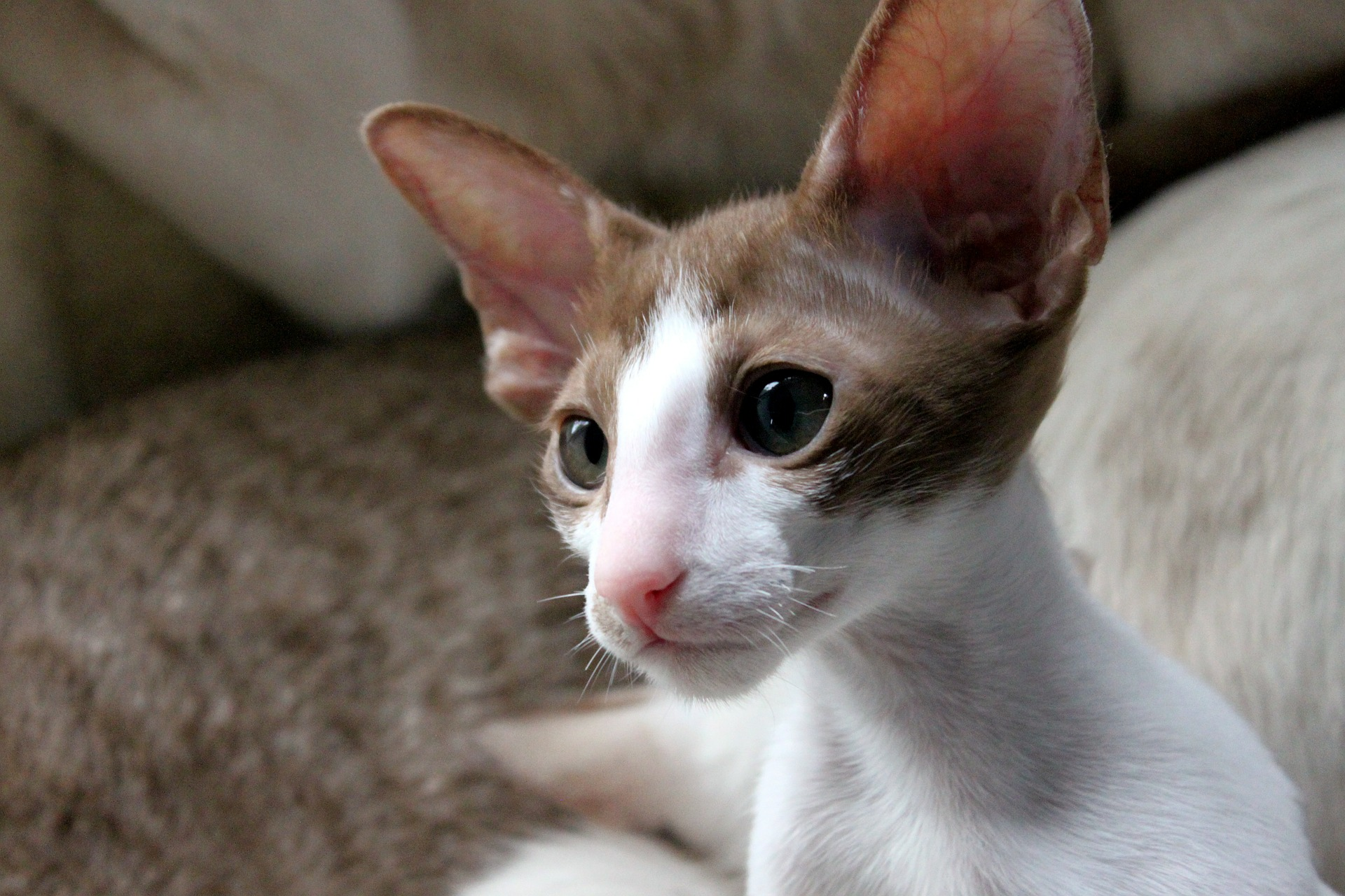 Meet the Lovely Oriental Shorthair a.k.a. Ornament