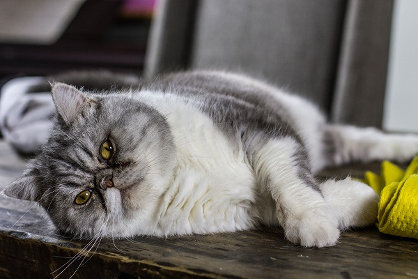 Gray and white overweight cat with yellow eyes