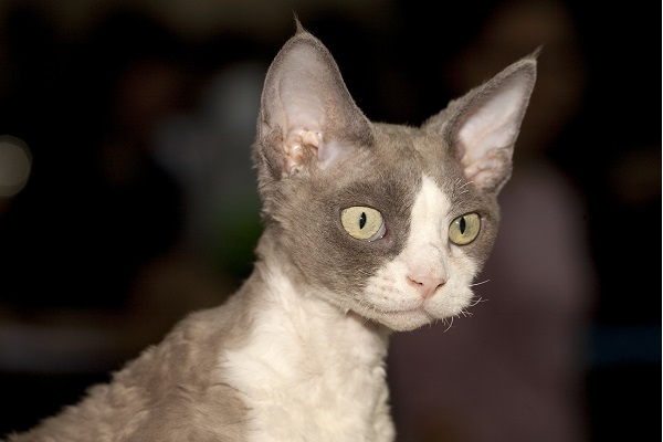 gray and white curly devon rex sitting and looking into space