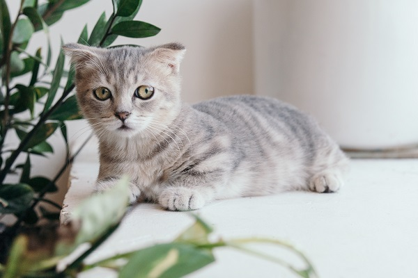 Light gray and white tabby cat with slightly folded ears