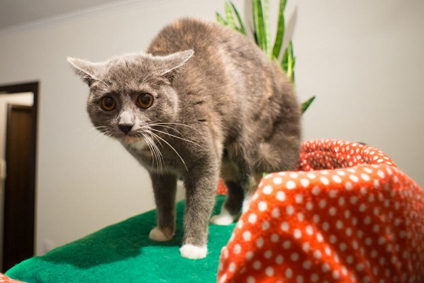 a scared gray cat with white paws looking into the camera with dilated pupils and arched back