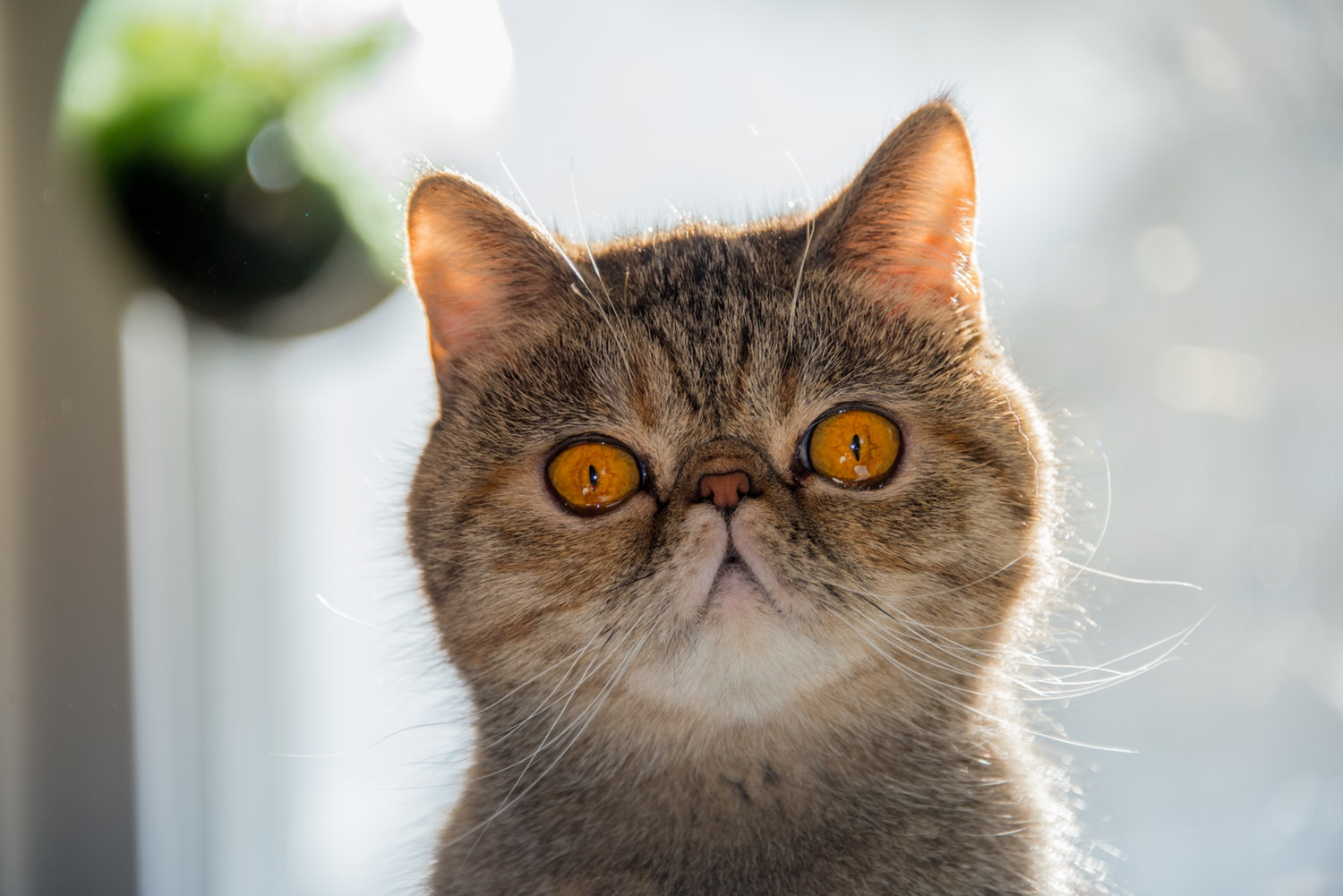 Hey Hooman, I'm An Exotic Shorthair!