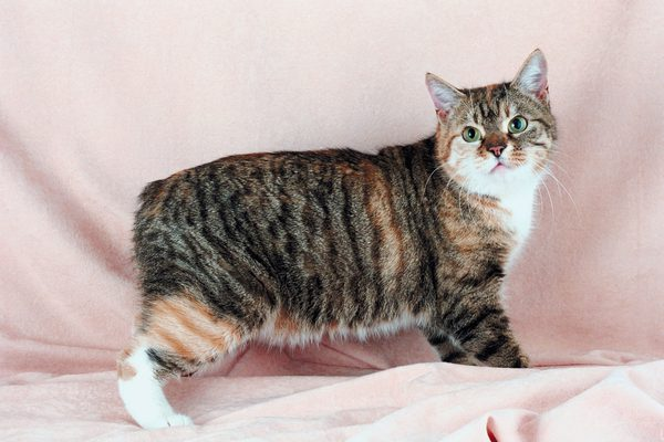 Japanese bobtail tabby white spotted cat