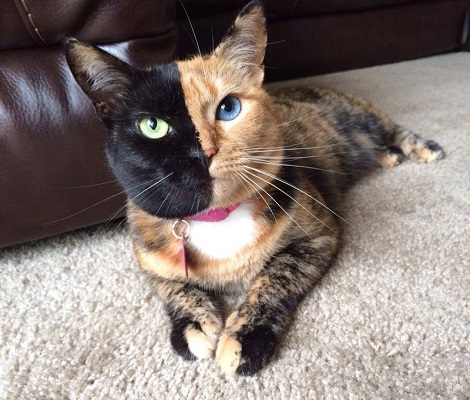 A tortoiseshell cats venus who is possibly a chimera cat