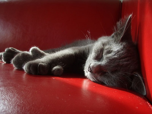 A gray polydactyl (body-type mutation) cat sleeping on a red sofa