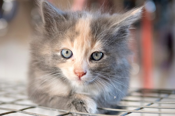 A gray and orange kitten with blue eyes