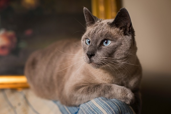 the siamese cat with blues eyes