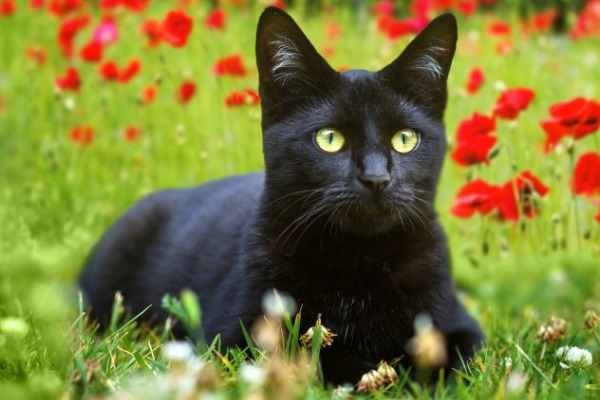 It's Black Cat Appreciation Day!
