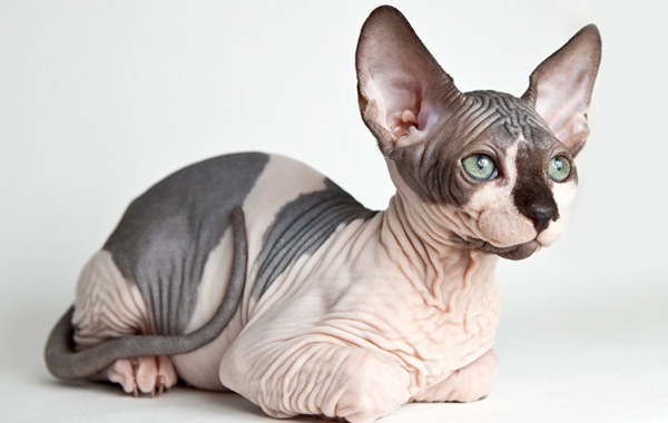 The Purrfect Not-So-Furry Companion: The Sphynx Cat