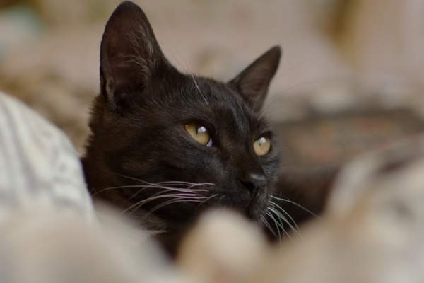 Feline Melanism: Adaptive and Evolutionary Significance