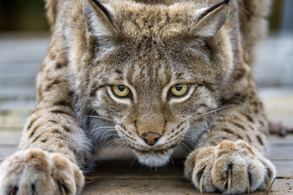 Basepaws Wild Cat Index: What Kind of Wild Is Your Cat?