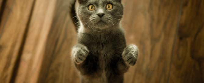 A gray cat with yellow eyes begging