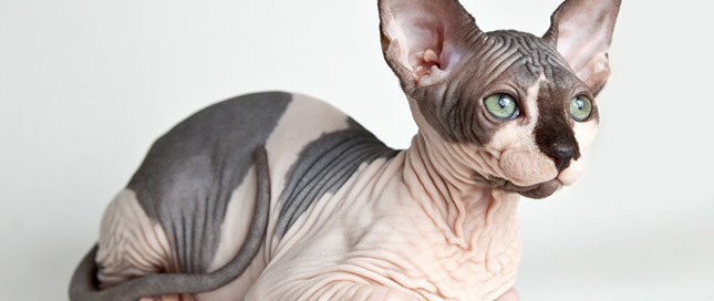 Sphynx cat with green eyes