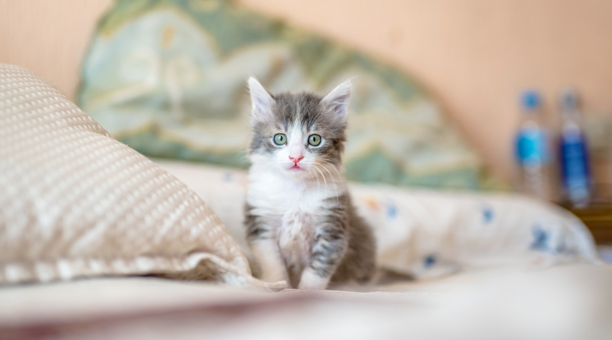 A gray and white young kitten with green eyes sitting on the bed