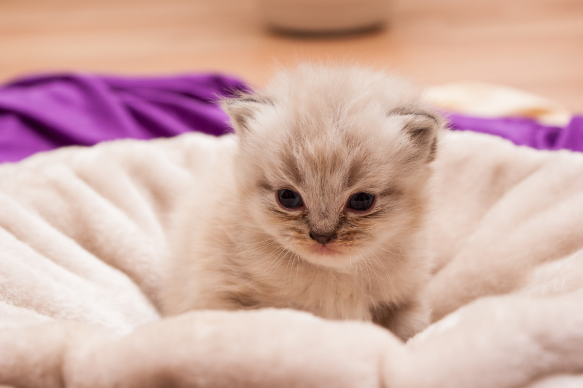 A young beige Persian kitten on a pillow