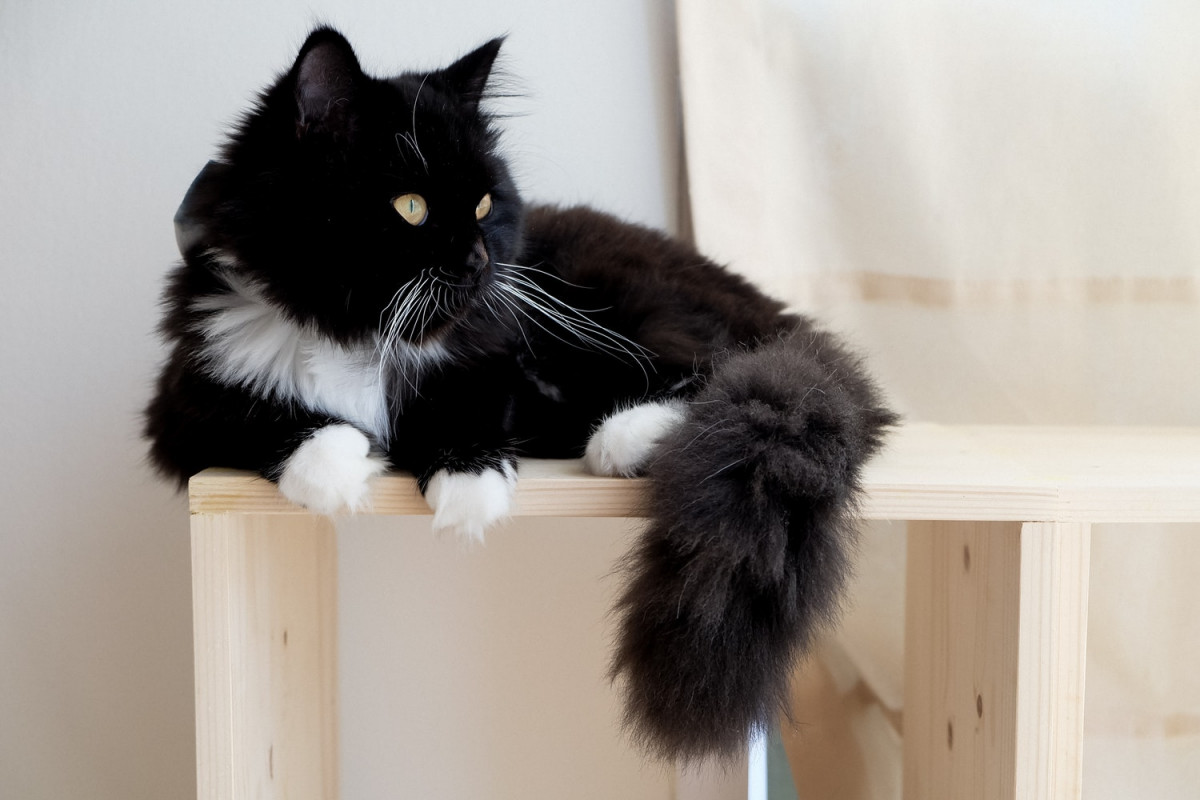 A beautiful long-haired black and white cat