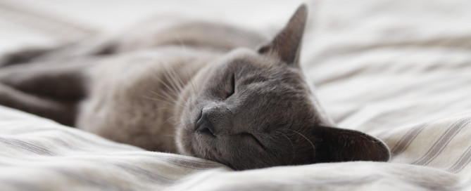 A gray cat sleeping on the bed