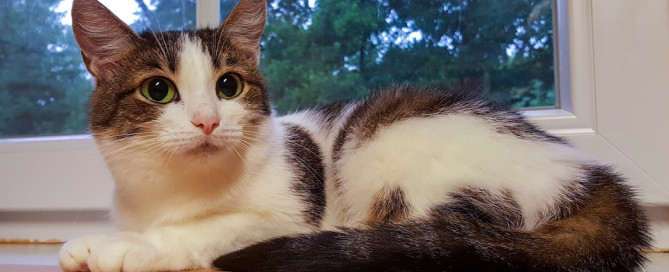 A tabby white-spotted cat