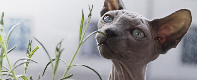 A gray Sphynx cat with blue eyes