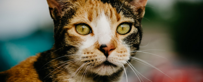 a tortoiseshell cat with yellow eyes looking into the camera
