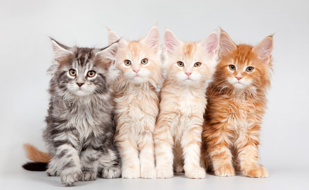 A group of gray, beige and orange tabby kittens