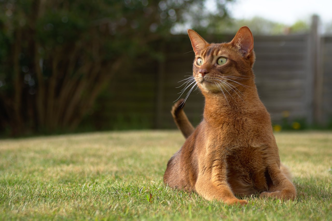 A brown cat with green eyes laying on grass