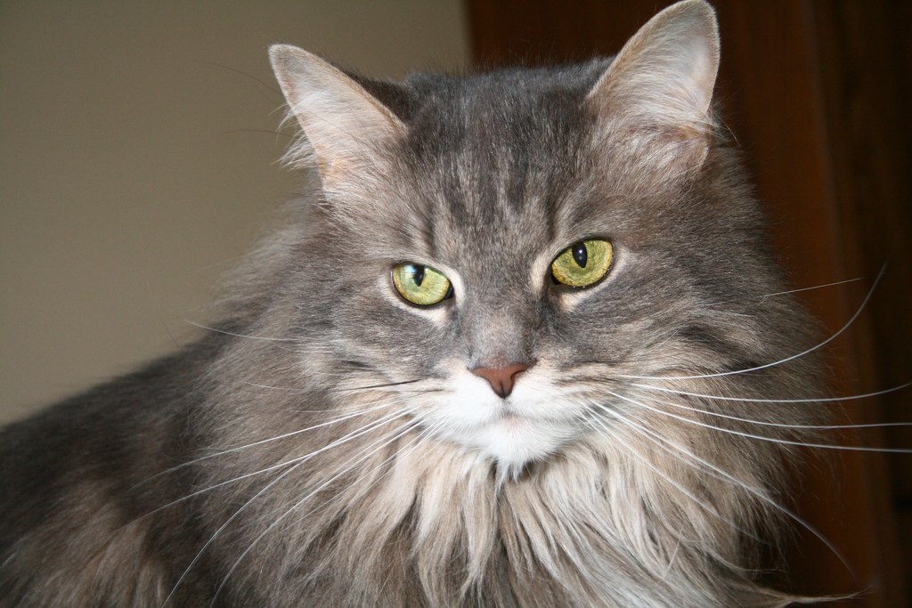 A gray long-haired cat with green eyes