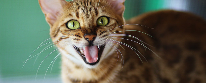 Bengal cat with green yellow eyes meowing