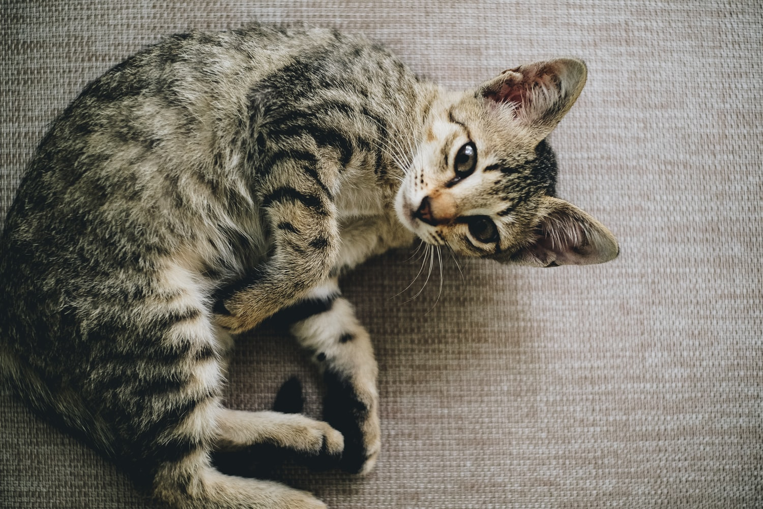 alpha report tabby cat curled up