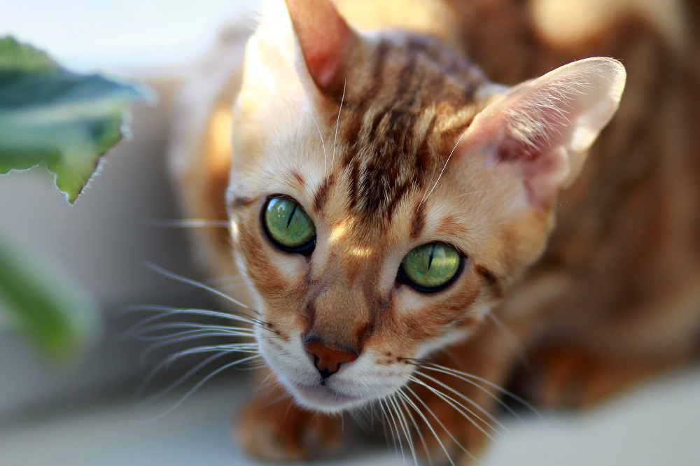 bengal cat with gorgeous green eyes