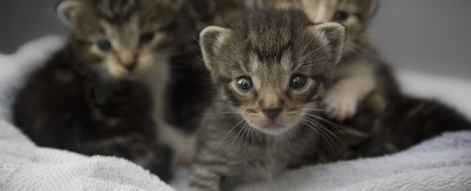 cute tabby brown kittens
