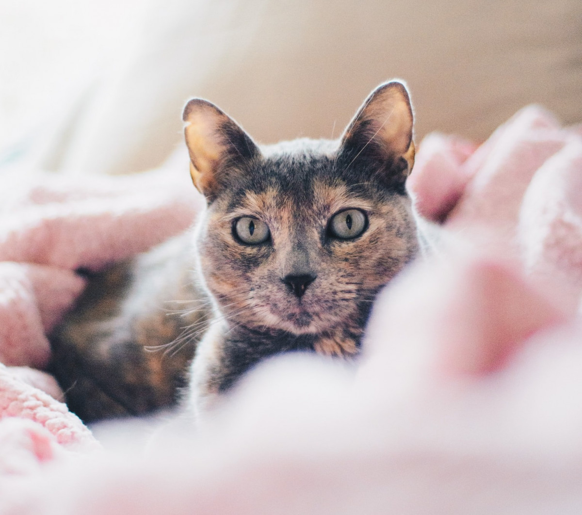Cute tortoiseshell cat with green eyes in a pink blanket