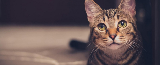 Brown tabby cat with yellow eyes
