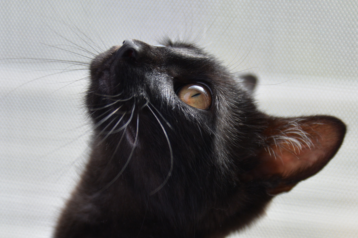 A black cat looking up