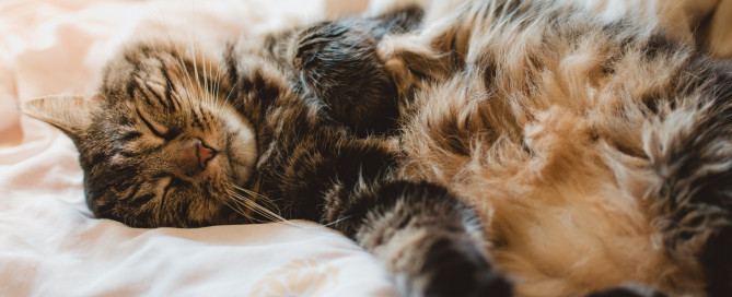 Tabby brown cat sleeping on a bed