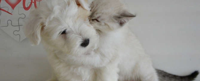 A white dog with a white kitten