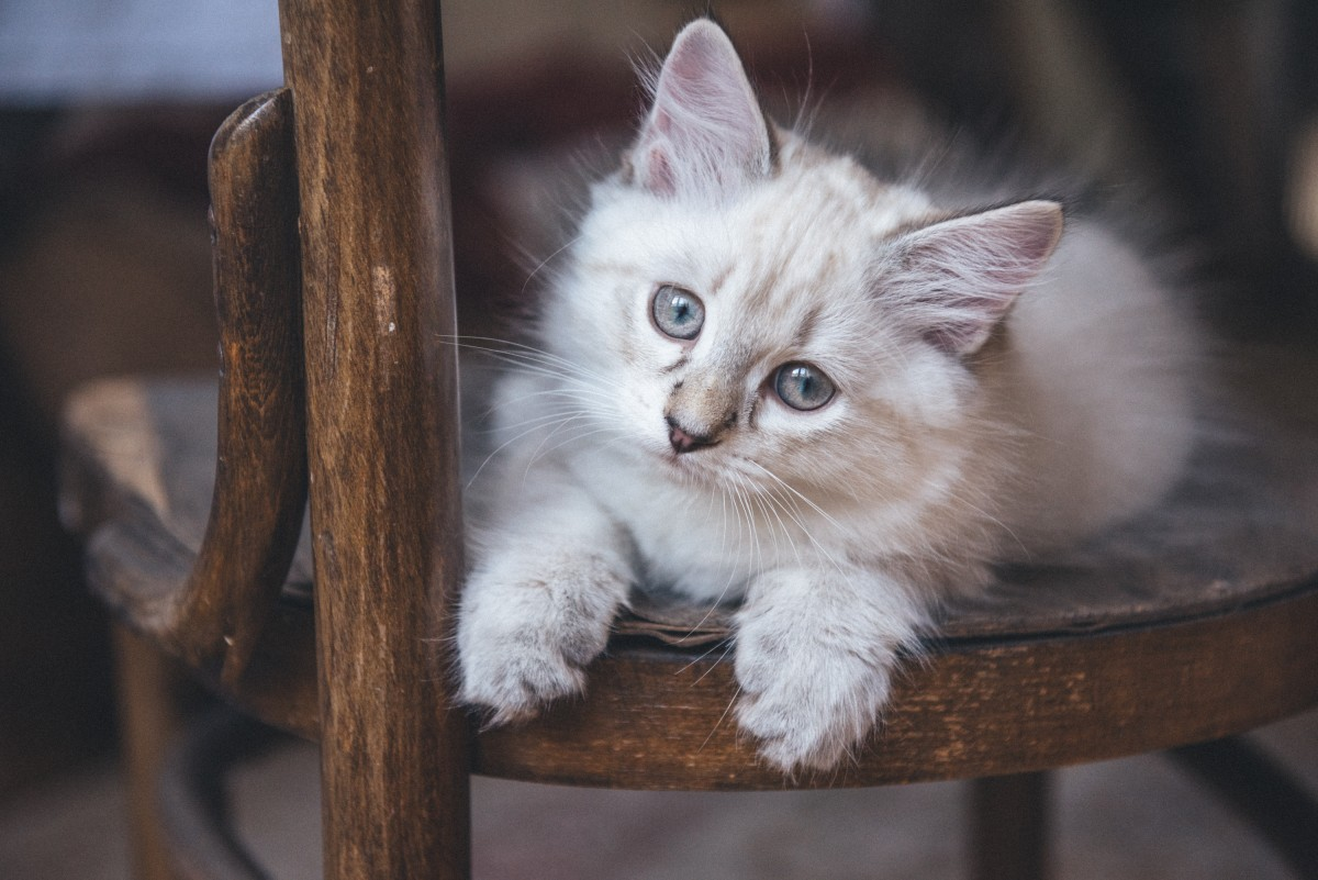 Cream tabby cat with blue eyes on a wooden chair