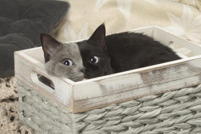 A gray and black cat Narnia who is possibly a Chimera cat