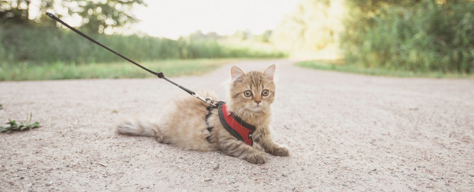 A tabby cat on a harness and leash