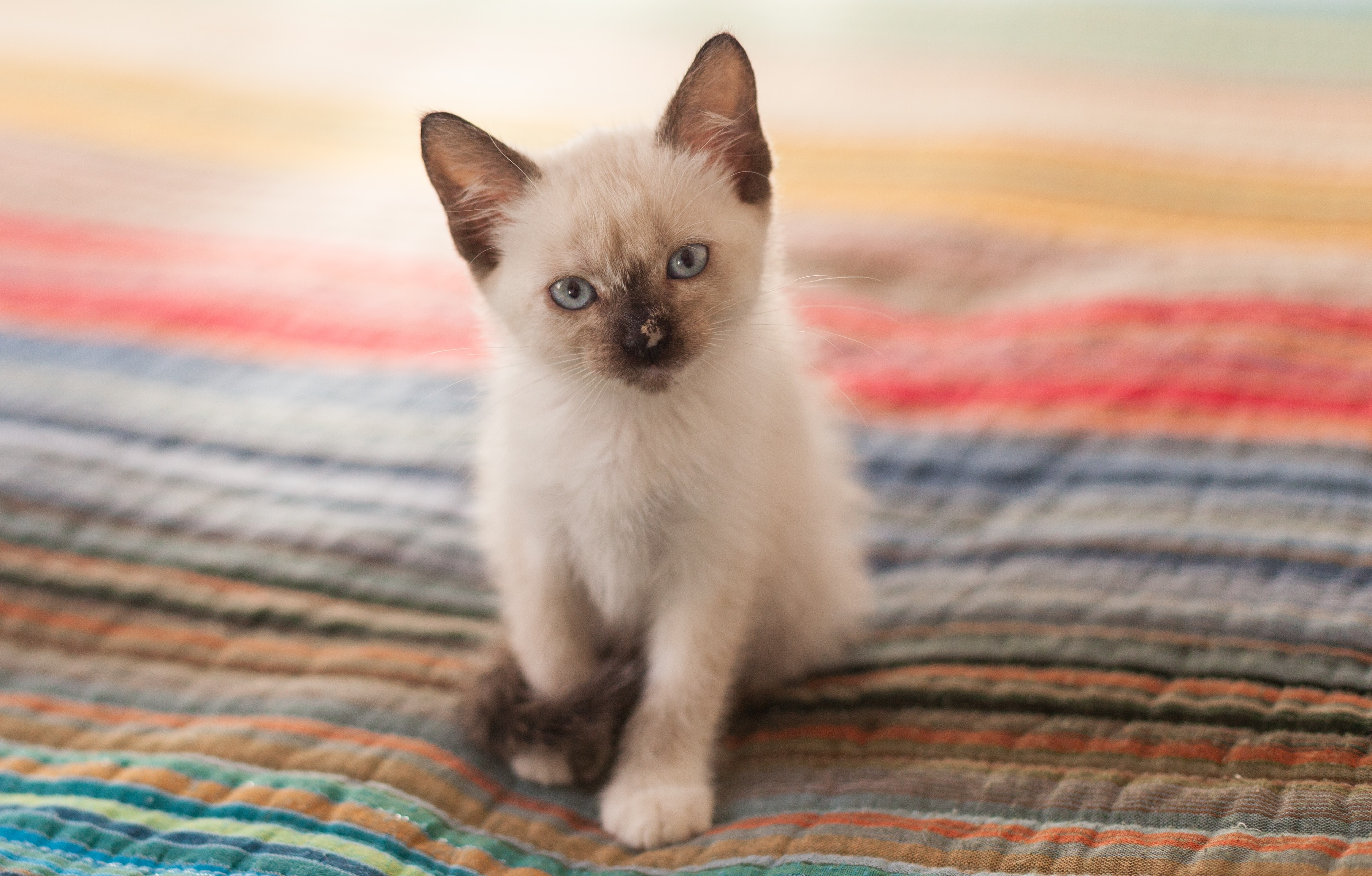 Siamese – Mysterious Genetics of the Feline Royal