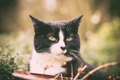 Black and white tuxedo cat in grass