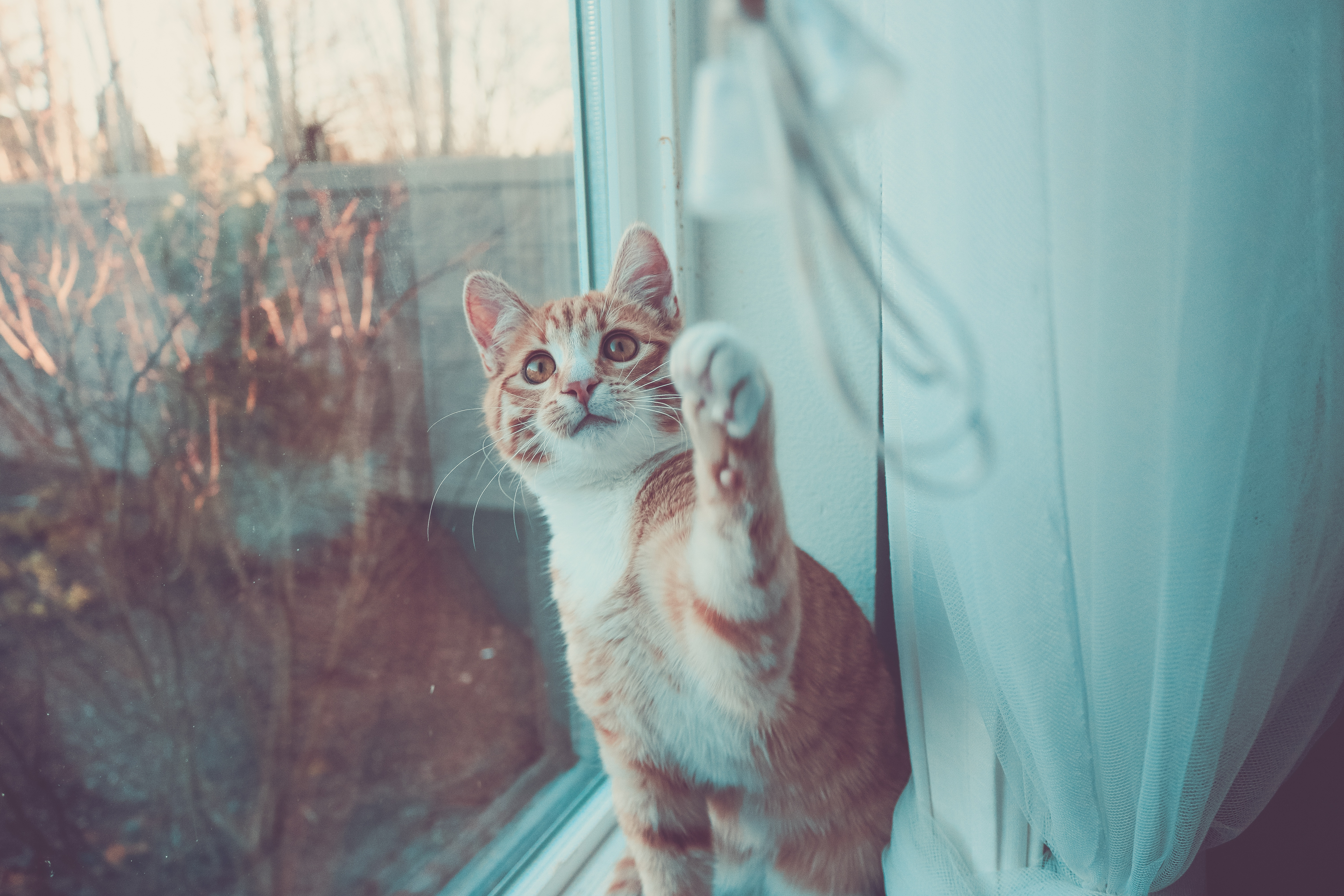 Orange white-spotted tabby cat playing with the blinds or curtains